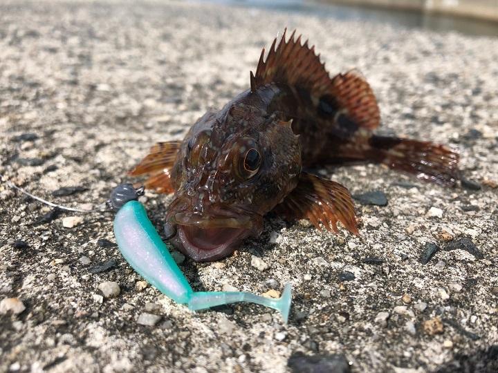 釣りファミ 京都・宮津の養老漁港、ソフトワーム「ベイティ」でガシラを釣れる、釣れる!